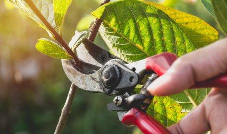 Élagage et taille d'arbres fruitiers par un paysagiste à Chambéry